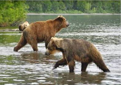 Bears on the Kuril Lake